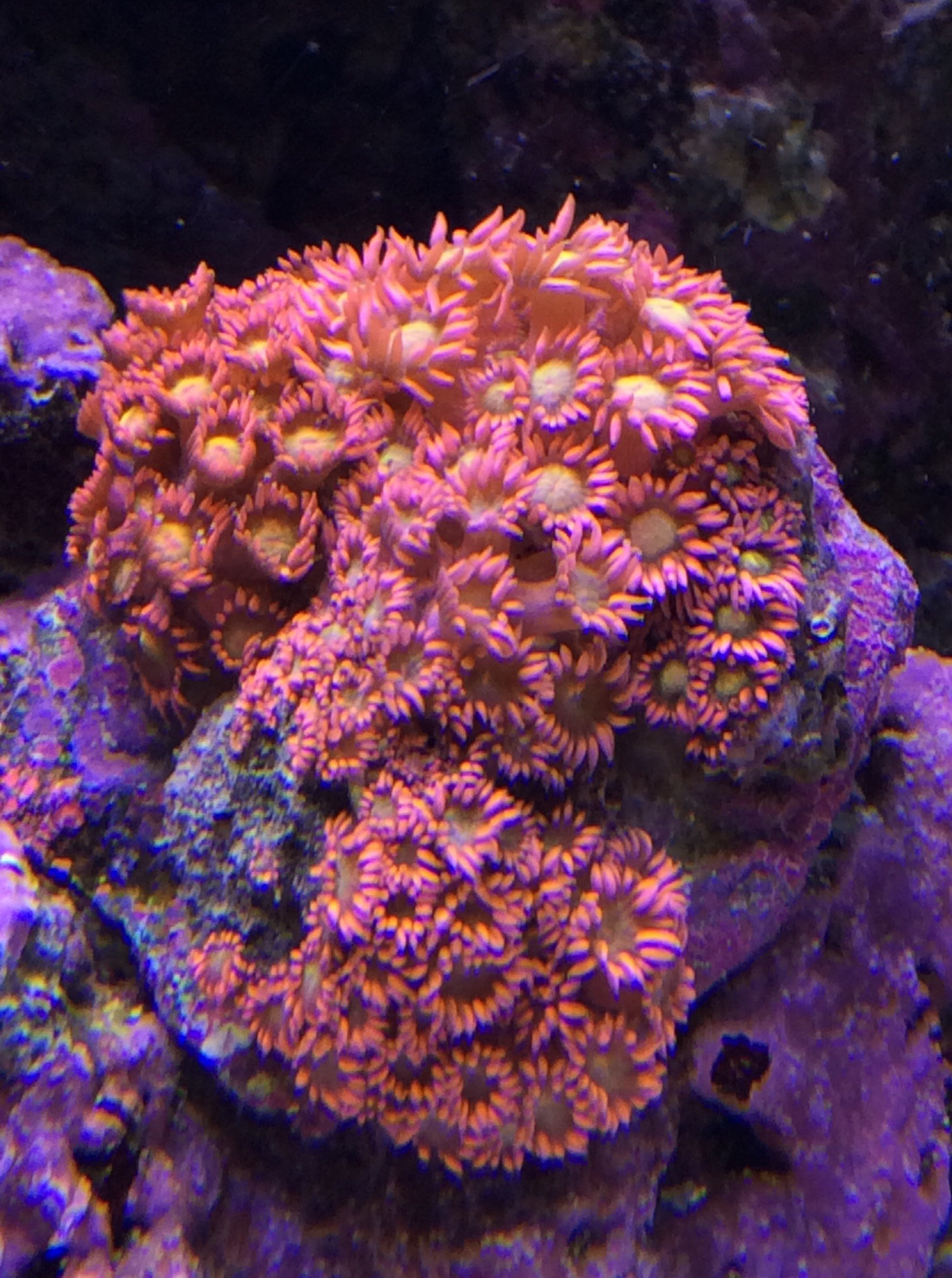 Aquaticlog stock by oliviervdl added flower pot coral pink 4 0 flower pot coral pink goniopora sp mightylinksfo Choice Image