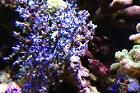 Blueberry Sea Fan Thumbnail
