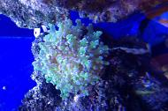 Frogspawn Coral - Branched