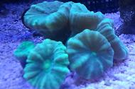 Green Trumpet Coral