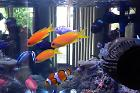 Lyretail Anthias