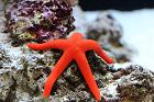 Orange Sea Star Thumbnail
