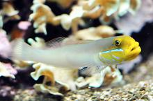 Blue cheek gobies