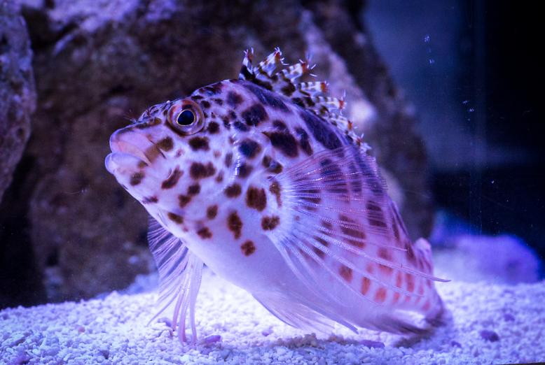 Pixy/Spotted Hawkfish