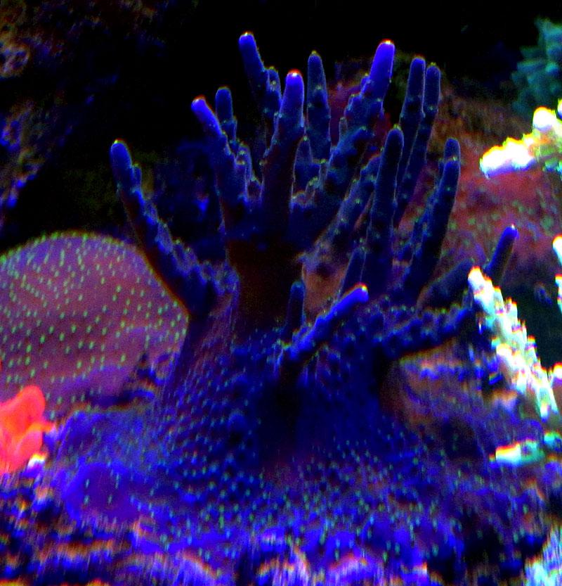 Aquaticlog Stock By Hnurge Added Purple Bonsai Acropora Acropora Valida