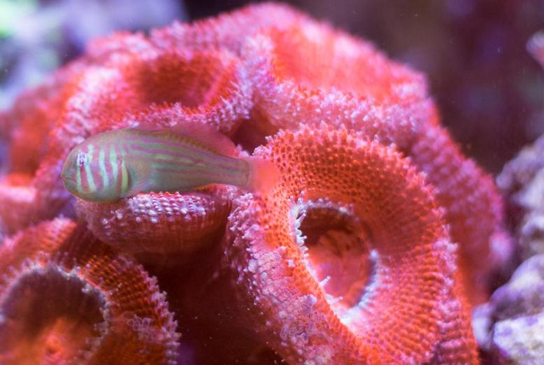 Clown Goby, Green