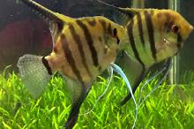 Pair Silver Angelfish