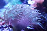 Purple Tip Torch Coral