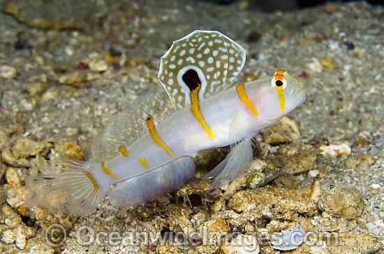 aquaticlog stock by mvalreef added orange stripe prawn