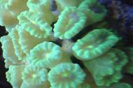 Trumpet Coral green