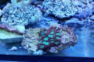 Brain Coral, Favites green/red