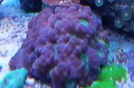 Christmas Trumpet Coral