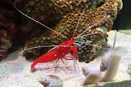 Blood Red Fire Shrimp