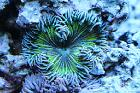 Rock Flower Anemone Thumbnail