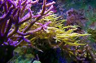 Green Long Birdsnest Coral