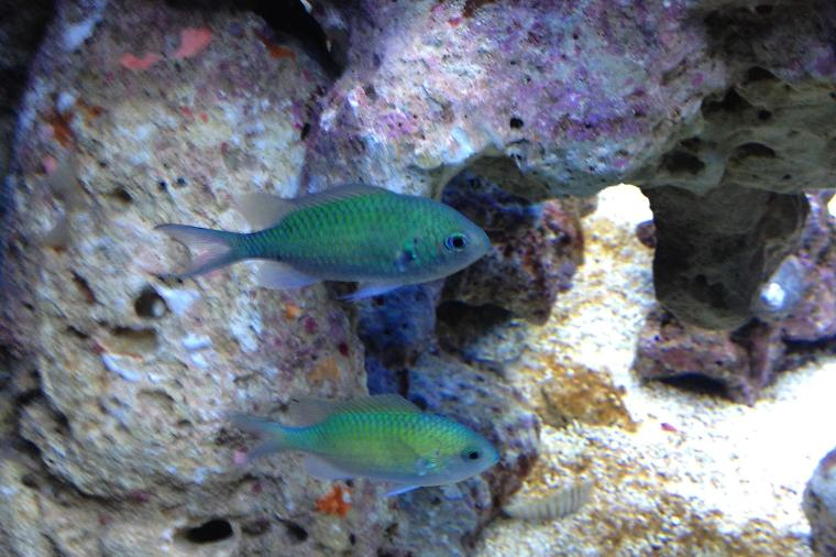 Blue/Green Reef Chromis Thumbnail