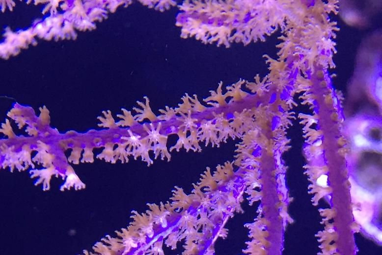 Purple Brush Gorgonian