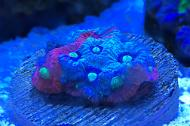 Tyree War Coral