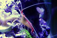 Red Line Cleaner Shrimp