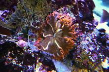 Carrot-red Rock Anemone