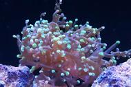 Frogspawn Coral - green tips