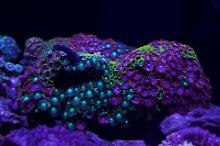 Zoas (all sorts)