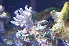 Finger Leather Coral Thumbnail