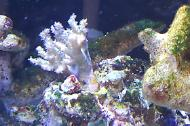 Finger Leather Coral