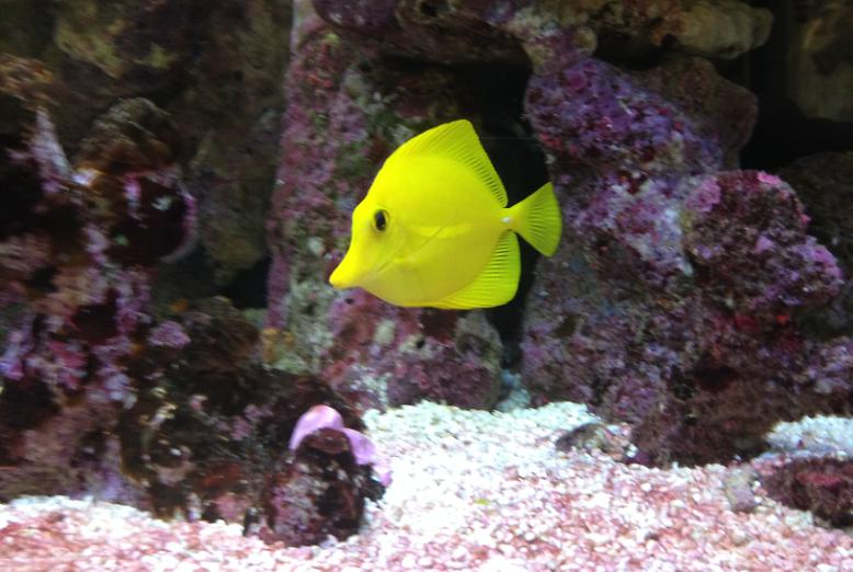 Yellow Tang on the 25 October 2014