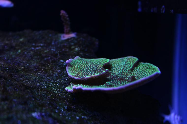 Montipora confusa Sour Apple Thumbnail