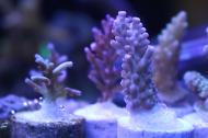 Acropora (Strawberry Shortcake)
