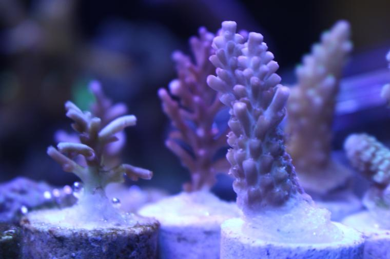 Acropora Strawberry Shortcake Thumbnail