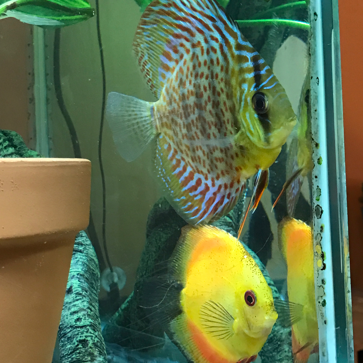 Discus & Angel Show Tank on Feb 17, 2017