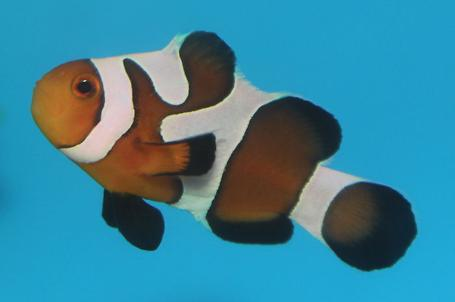 Gladiator Ocellaris Clownfish