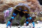 Blue Legged Hermit Crab Thumbnail