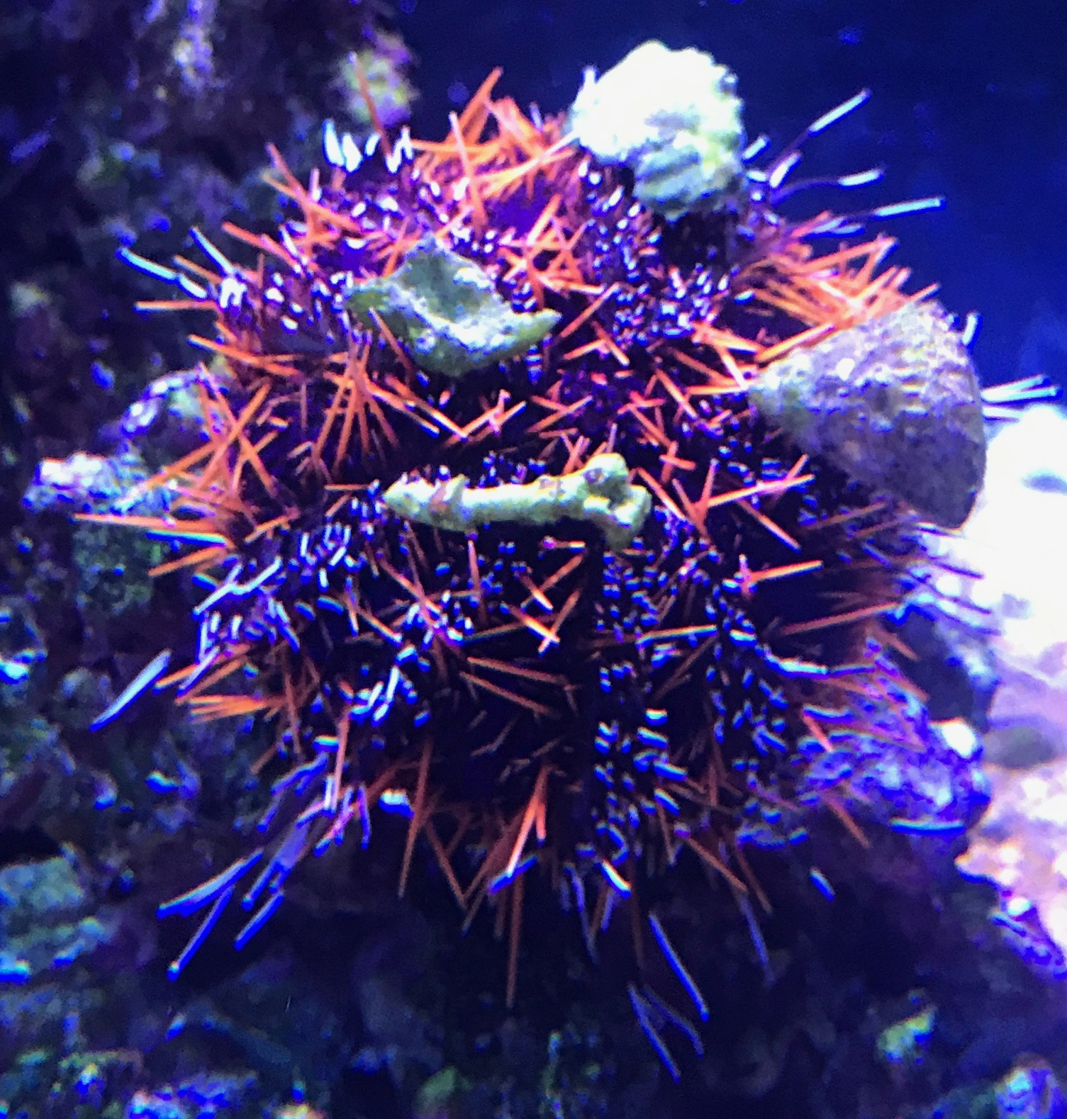 Halloween Collector Urchin with tank detritus
