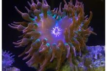 Flame Bubble Tip Anemone