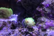 Neon Green Toadstool Leather Coral