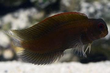 Black Sailfin Blenny Thumbnail