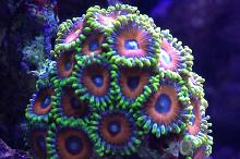 Can someone ID these zoanthids?