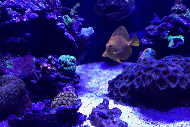 Yellow Hawaiian Tang on Sunday, July 23, 2017