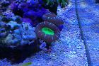 Candy Cane Coral Thumbnail
