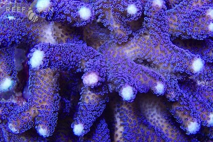 Purple Stylophora Coral White Tips Thumbnail