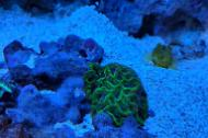 Purple and Green Favites Brain Coral