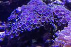 Fire and Ice Zoanthid Thumbnail