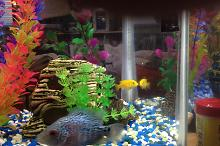 David's Gift from Kyle, Cichlids Thumbnail
