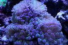 Pink Frogspawn Coral - Branched Thumbnail