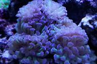 Pink Frogspawn Coral - Branched
