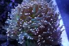 Orange Frogspawn Coral - Branched Thumbnail