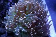 Orange Frogspawn Coral - Branched